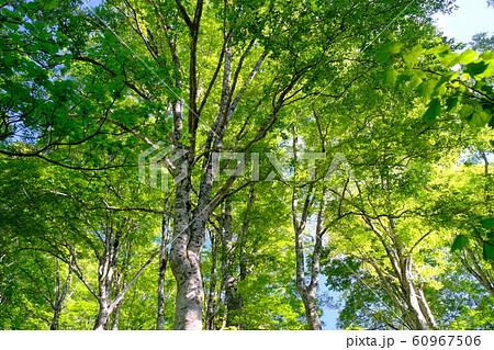 新緑のブナ林 60967506