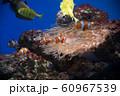 カクレクマノミ 水槽 水族館 展示 60967539