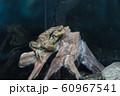 アズマヒキガエル 飼育 アクアリウム 水族館 60967541