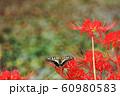 キアゲハ と ヒガンバナ 60980583