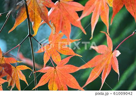 オレンジと緑の葉 61009042
