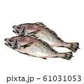 イシモチ 石持 石首魚 水彩 61031053
