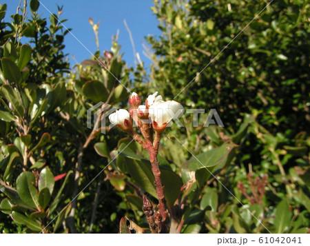 季節外れのシャリンバイの白い花 61042041