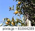 未熟な緑色の金柑の実 61044289