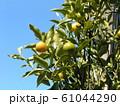 未熟な緑色の金柑の実 61044290