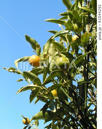 未熟な緑色の金柑の実 61044292