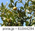 未熟な緑色の金柑の実 61044294