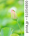 夏_蓮と昆虫のイメージ 61054800