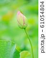 夏_蓮と昆虫のイメージ 61054804