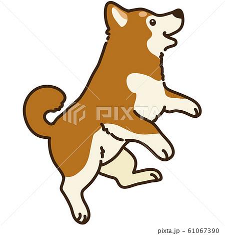 ジャンプする柴犬 61067390