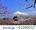 梅と富士山-222979 61099557