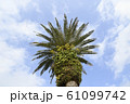 フェニックスの樹 ヤシ科ナツメヤシ亜科ナツメヤシ属 61099742