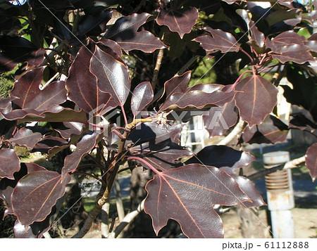 着ると姿が隠せる簑のように葉が密についるカクレミノの紅葉 61112888