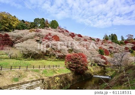 秋の競演(四季桜と紅葉) 61118531