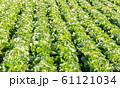 白菜畑 61121034