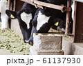 牛 丑 丑年 牧場 ホルスタイン 乳牛 飼育 牛舎 畜産 家畜 動物 干支 十二支 61137930