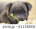 子犬 仔犬 小犬 こいぬ puppy 犬 戌 戌年 干支 十二支 レトリバー ラブラドール 61138668