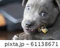 子犬 仔犬 小犬 こいぬ puppy 犬 戌 戌年 干支 十二支 レトリバー ラブラドール 61138671