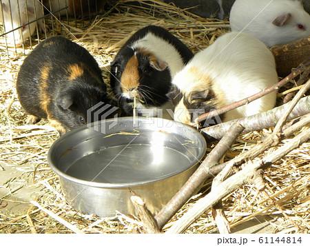 今年の干支ネズミの一種テンジクネズミ 61144814