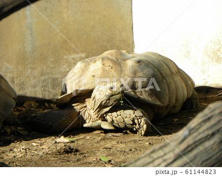 千葉動物公園のゾウガメ 61144823