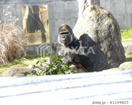 千葉動物公園のニシゴリラ 61144825