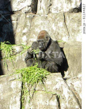 千葉動物公園のニシゴリラ 61144827
