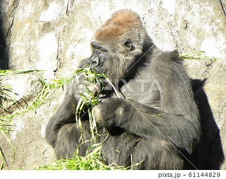 千葉動物公園のニシゴリラ 61144829