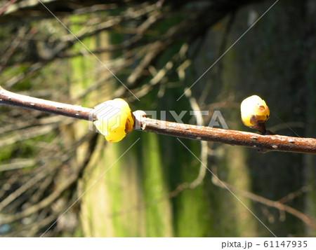 冬の花蝋梅の黄色花 61147935