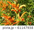 花びらに毛が生え、綿を着せたよな カエンキセワタのオレンジ色の花 61147938