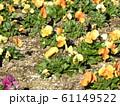 三陽メデアフラワーミュージアムのオレンジ色のビオラ  61149522