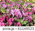 三陽メデアフラワーミュージアムの紫色のビオラ  61149523