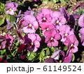 三陽メデアフラワーミュージアムの紫色のビオラ  61149524