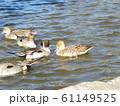 稲毛海浜公園の池に来た冬の渡り鳥オナガガモ 61149525