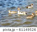 稲毛海浜公園の池に来た冬の渡り鳥オナガガモ 61149526