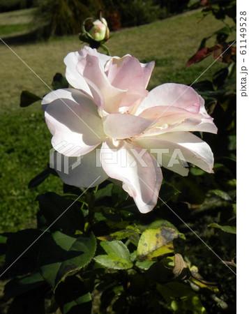 奇麗な白い大きいバラの花 61149528