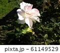 奇麗な白い大きいバラの花 61149529