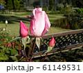 桜貝という品種のバラの桃色の奇麗な大きい花 61149531