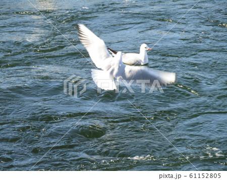 花見川河口の渡り鳥のユリカモメ 61152805