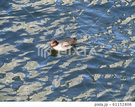 花見川河口の冬渡り鳥のコガモ 61152806