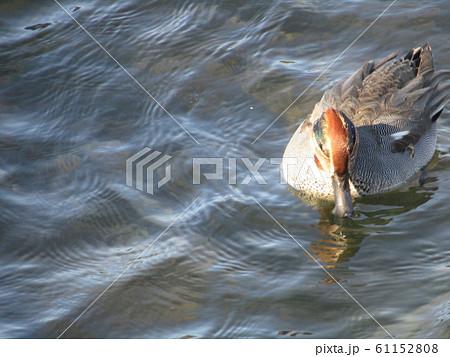 花見川河口の冬渡り鳥のコガモ 61152808