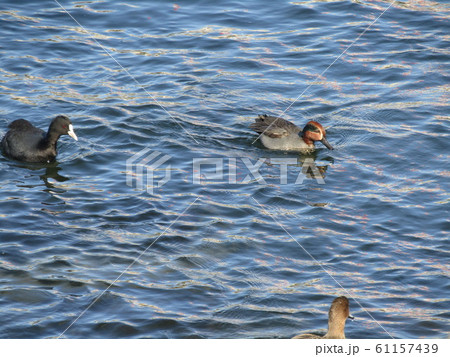 花見川河口の冬渡り鳥のコガモとオオバン 61157439