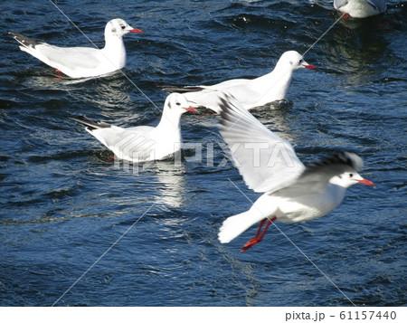 花見川河口の渡り鳥のユリカモメ 61157440