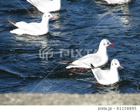 稲毛海浜公園の池で遊泳中の冬の渡り鳥ユリカモメ 61158895