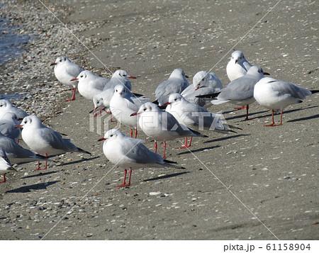 検見川浜の砂浜で休憩中の渡り鳥のユリカモメ 61158904