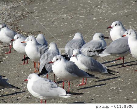 検見川浜の砂浜で休憩中の渡り鳥のユリカモメ 61158906