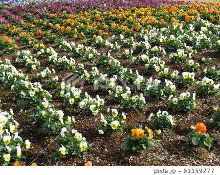 三陽メデアフラワーミュージアム年越しの花オレンジ色と白色のビオラ 61159277