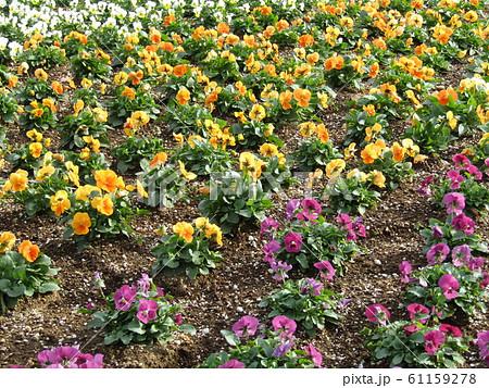 三陽メデアフラワーミュージアム年越しの花オレンジ色と紫色のビオラ 61159278