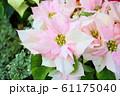 ポインセチアの花 61175040