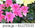 ポインセチアの花 61175535