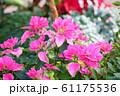 ポインセチアの花 61175536
